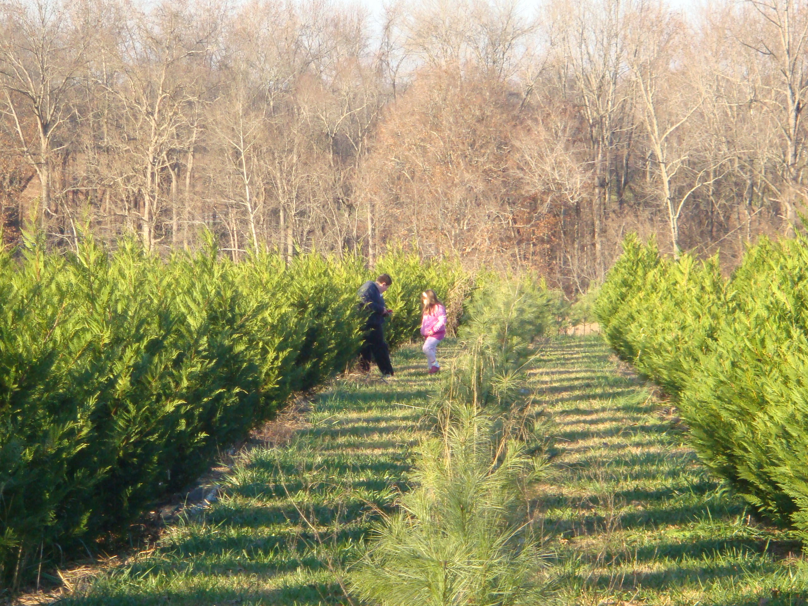Helms Christmas Tree Farm